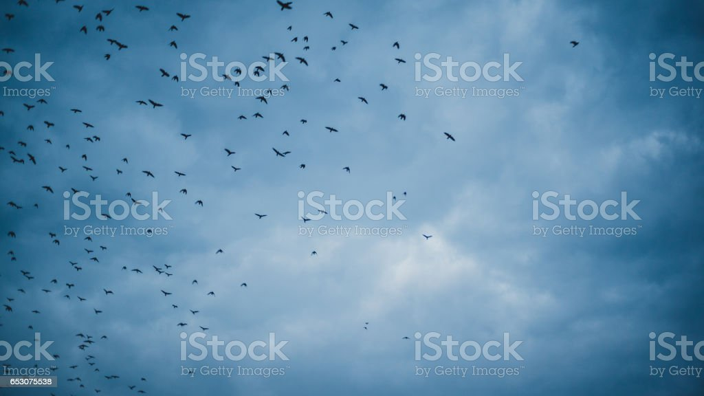 flock of birds flying in a cloudy evening sky stock photo