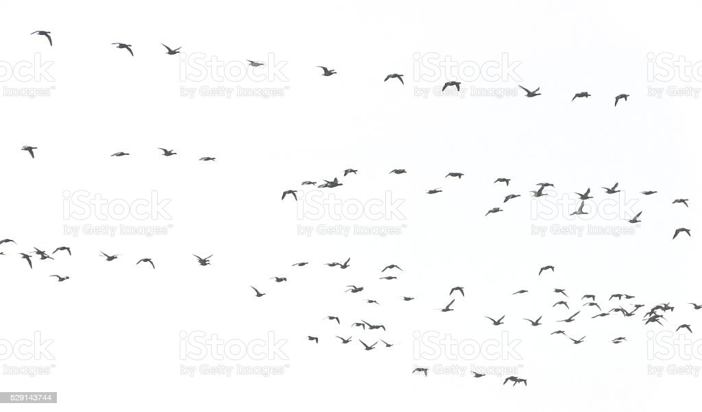 flock of birds in the sky background white migration stock photo