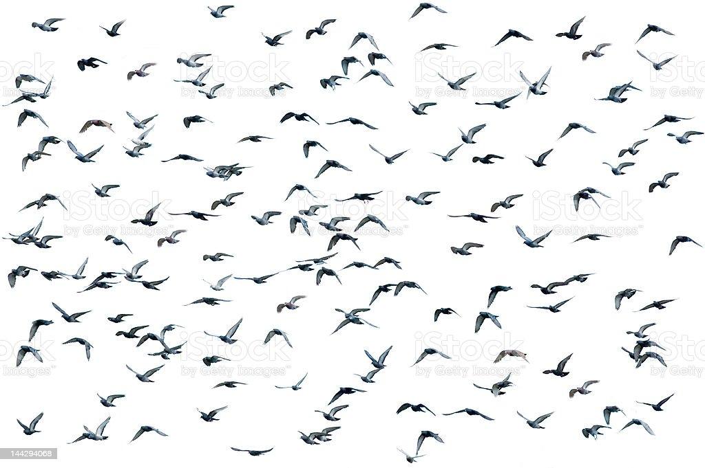 Flock of birds, isolated stock photo