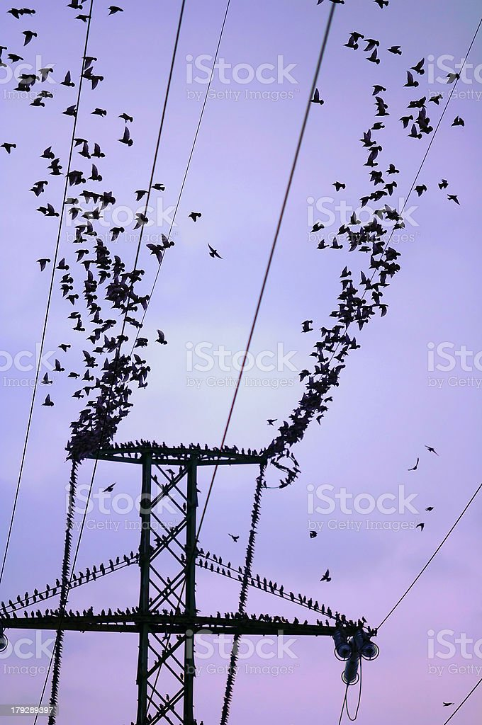 Flock of birds on power lines. Flying.