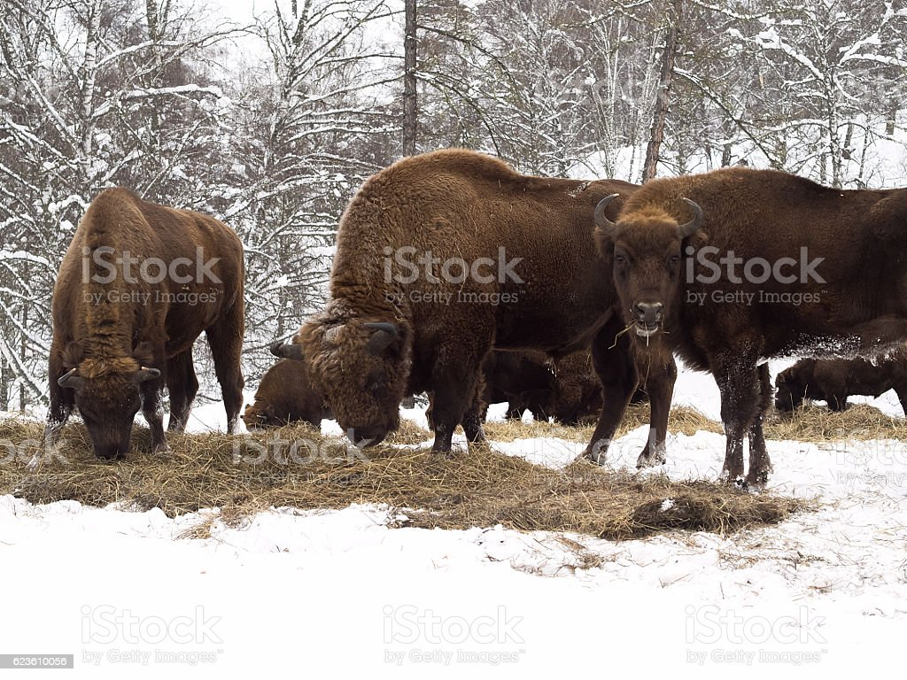 Flock of bison. Altai Breeding bison place. stock photo