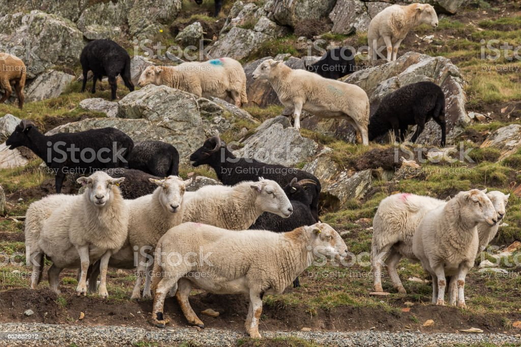 A flock of black and white sheep in Wales stock photo