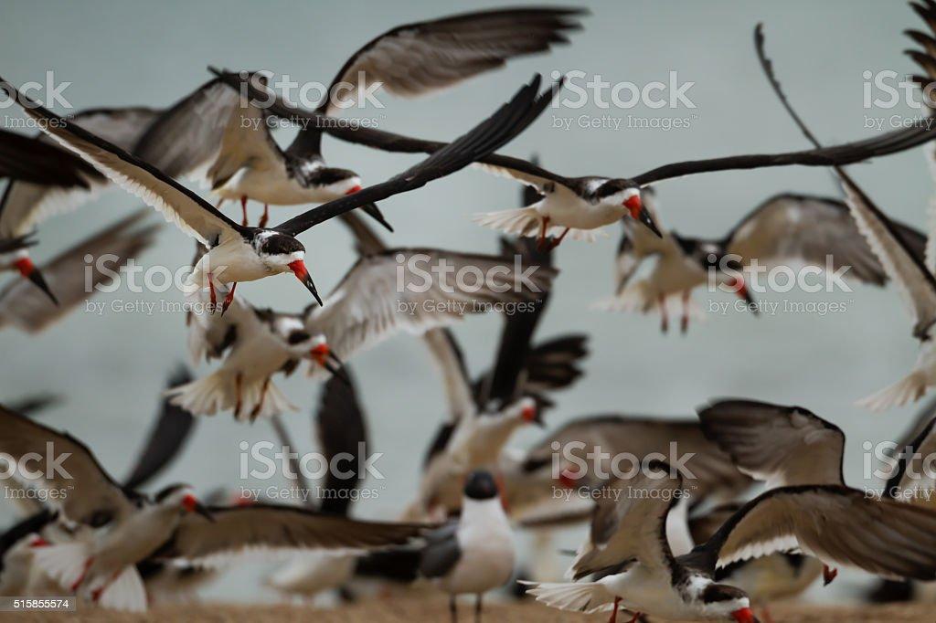 flock of black skimmers on sandbar stock photo