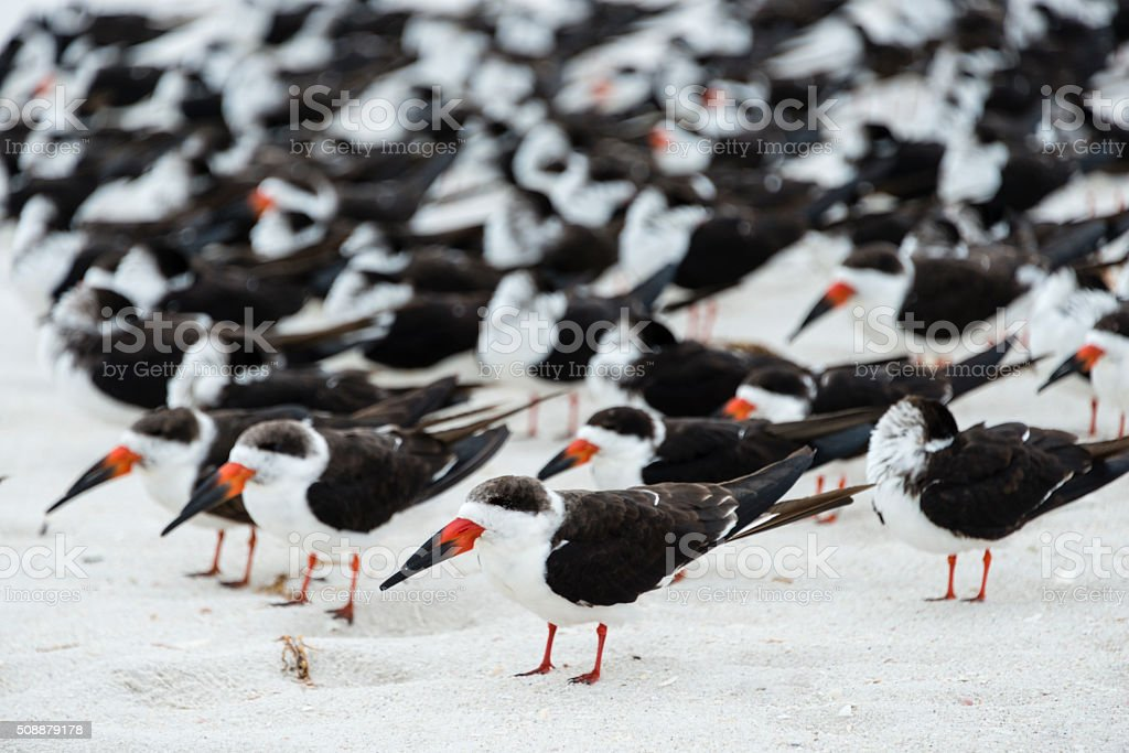 Flock of Black Skimmers standing on the beach stock photo