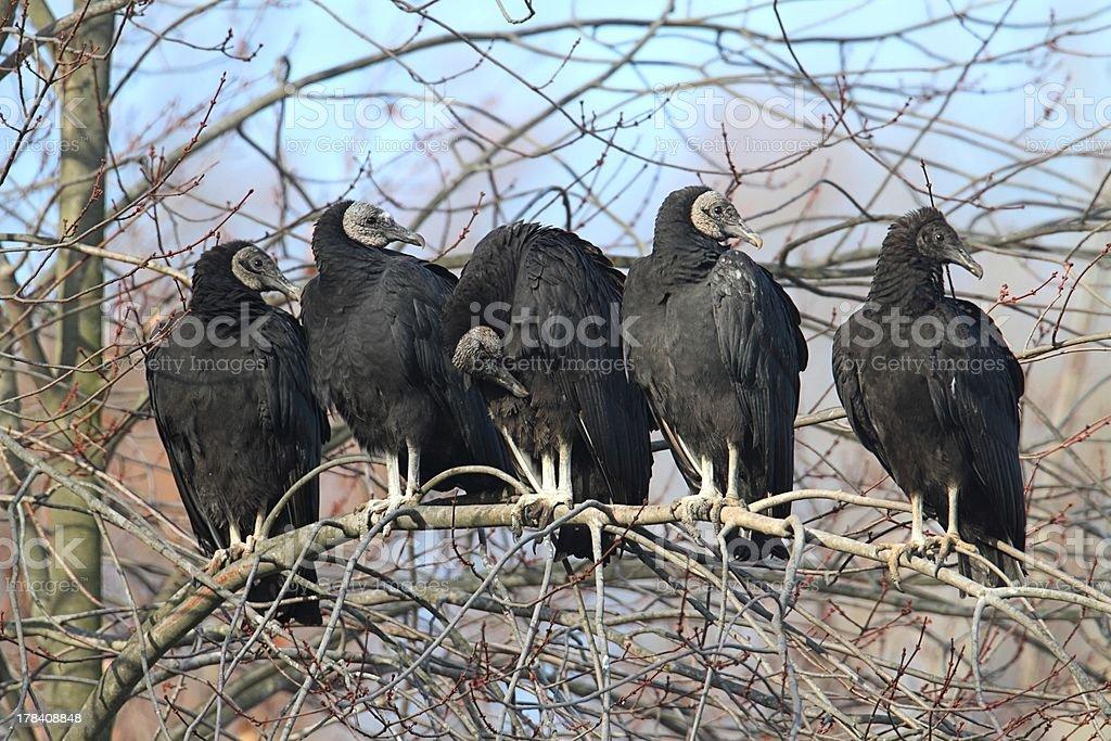 Flock of Black Vultures stock photo