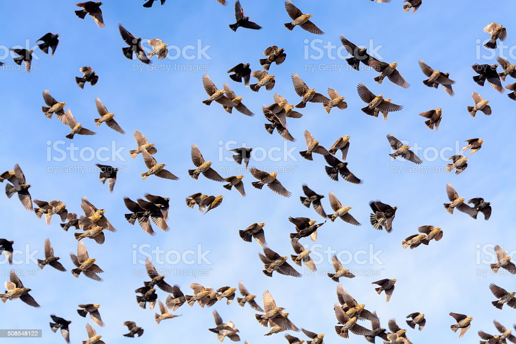 Flock of Blackbirds Flying stock photo
