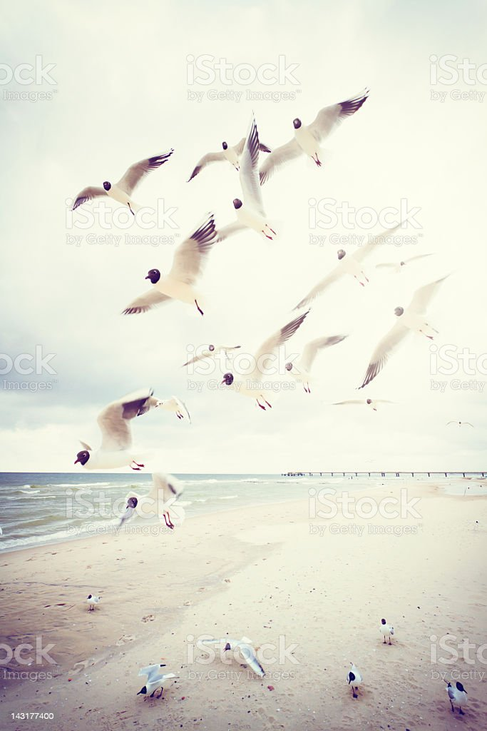 A flock of black-headed seagulls at the Baltic Sea stock photo