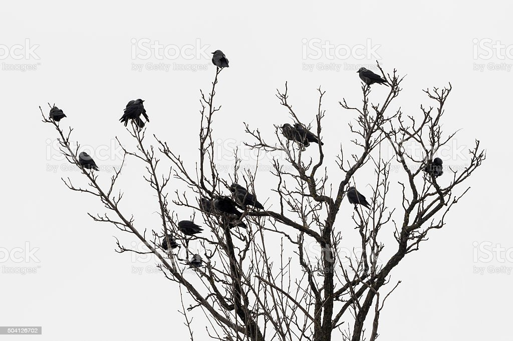 Flock of blue eyed crows on bare treetop stock photo