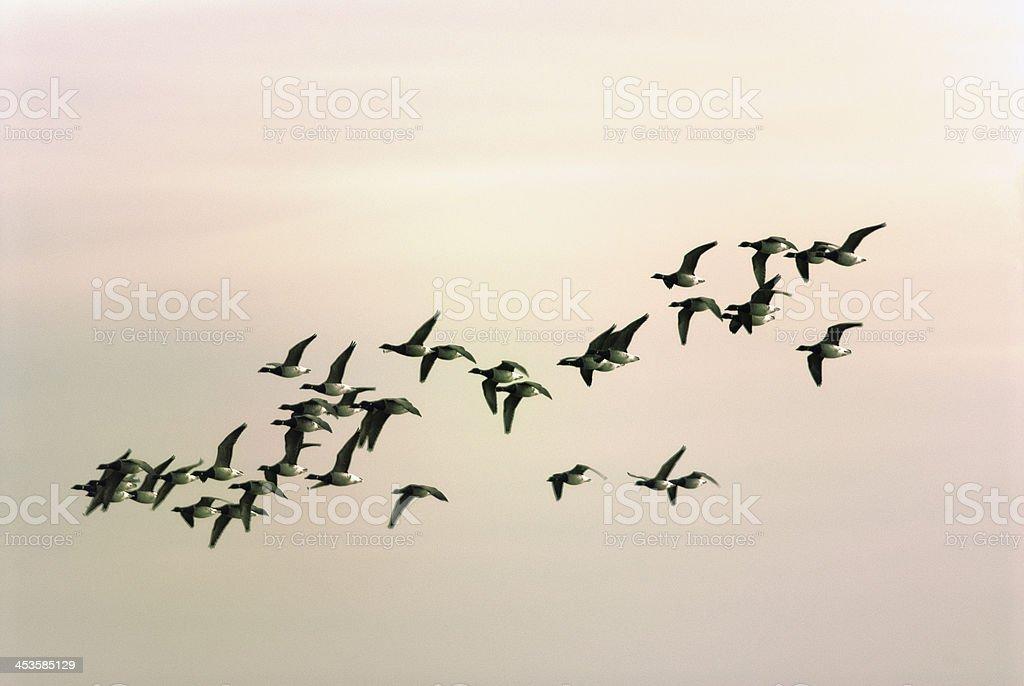 Flock Of Brant stock photo