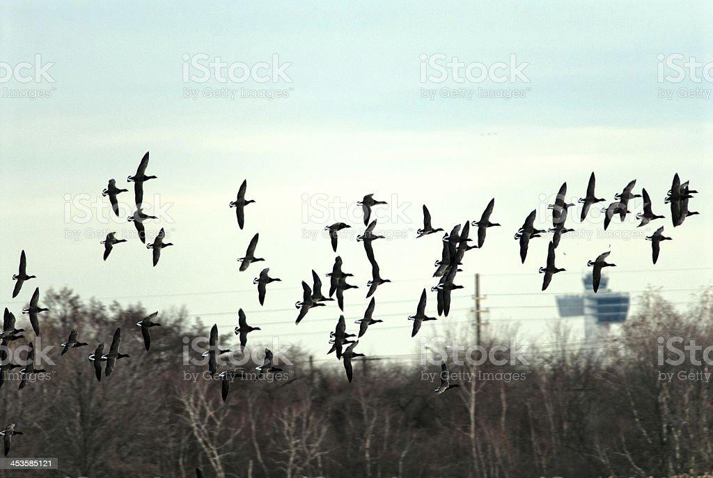 Flock Of Brants stock photo
