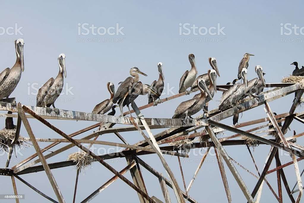 Flock of brown pelicans on fallen structure stock photo