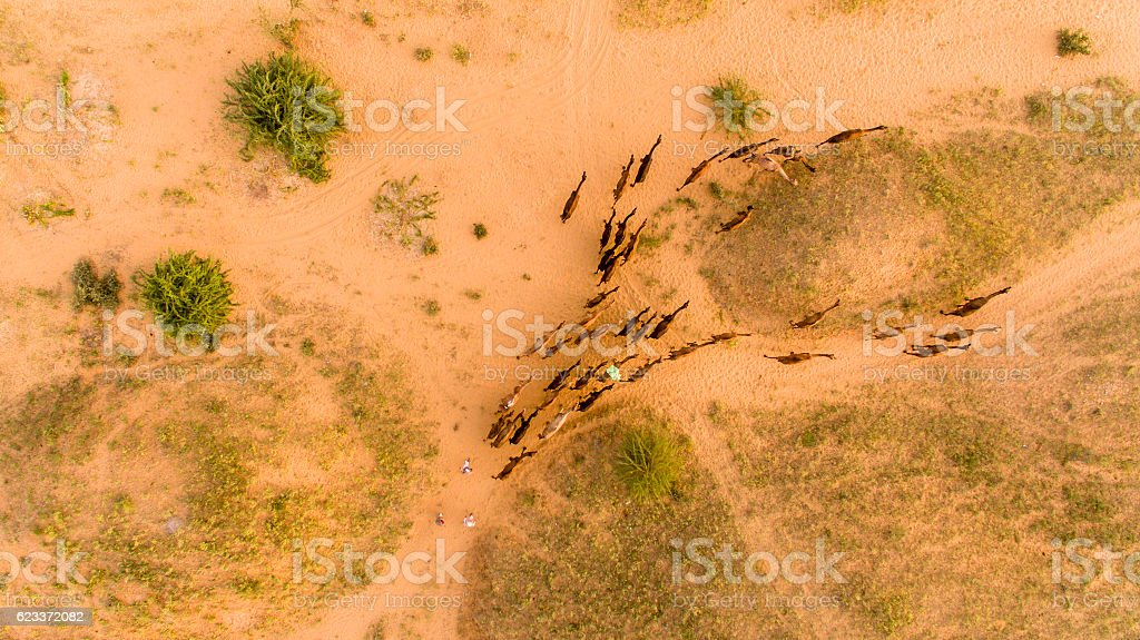 Flock of camels walking in desert, Rajasthan, India stock photo