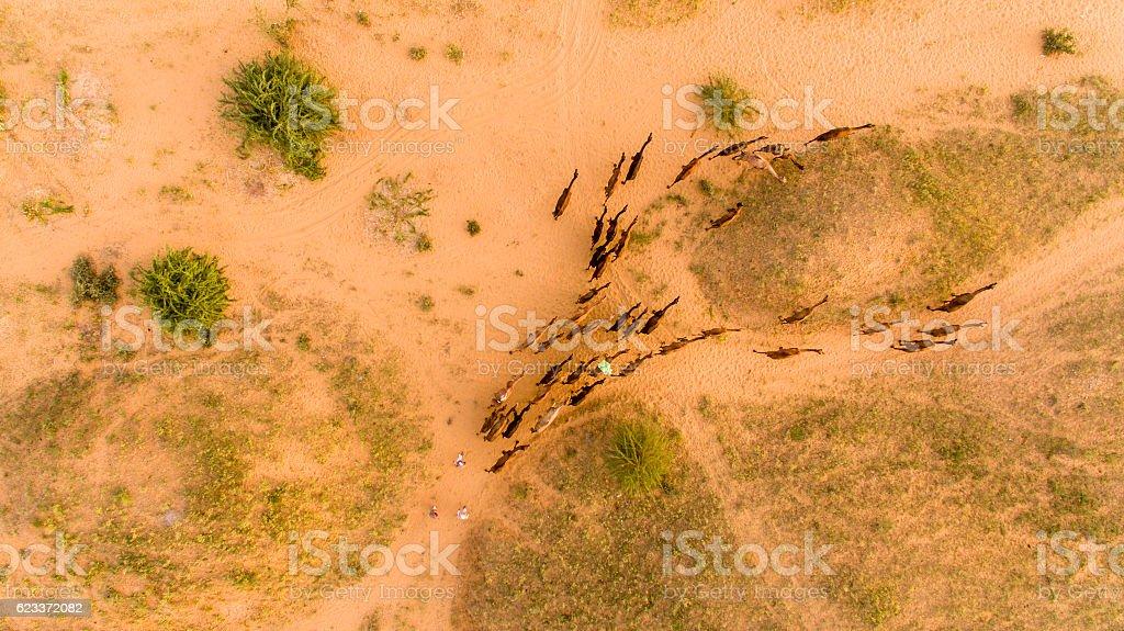 Flock of camels walking in desert, Rajasthan, India stock photo