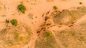 Flock of camels walking in desert, Rajasthan, India