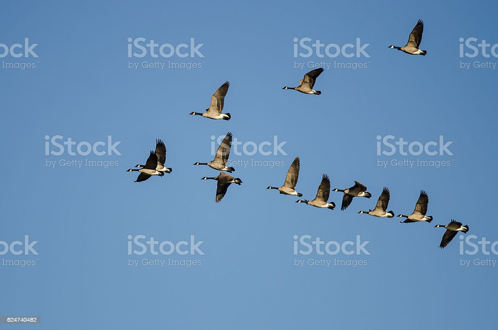 Flock of Canada Geese Flying in a Blue Sky stock photo