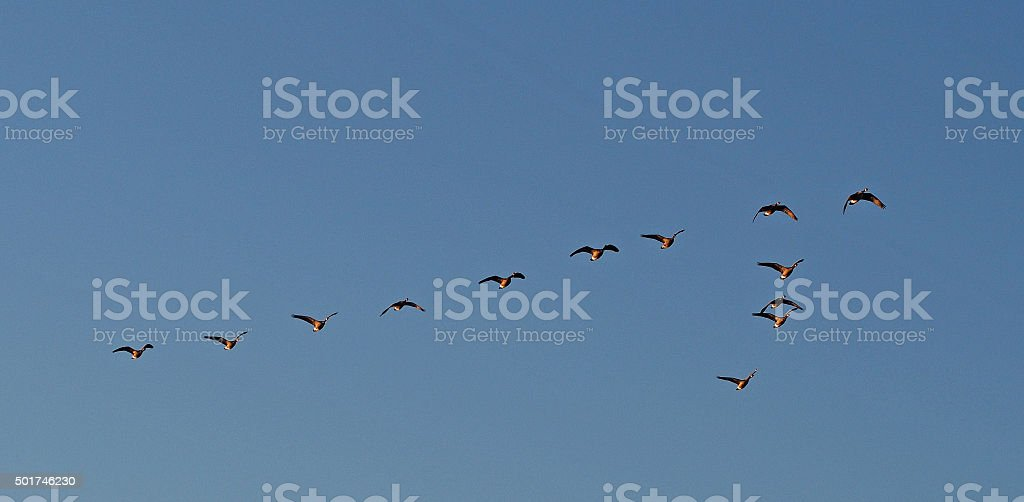 Flock of Canada Geese Migrates South stock photo