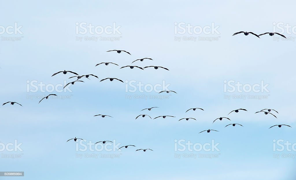 Flock of Canada Geese stock photo