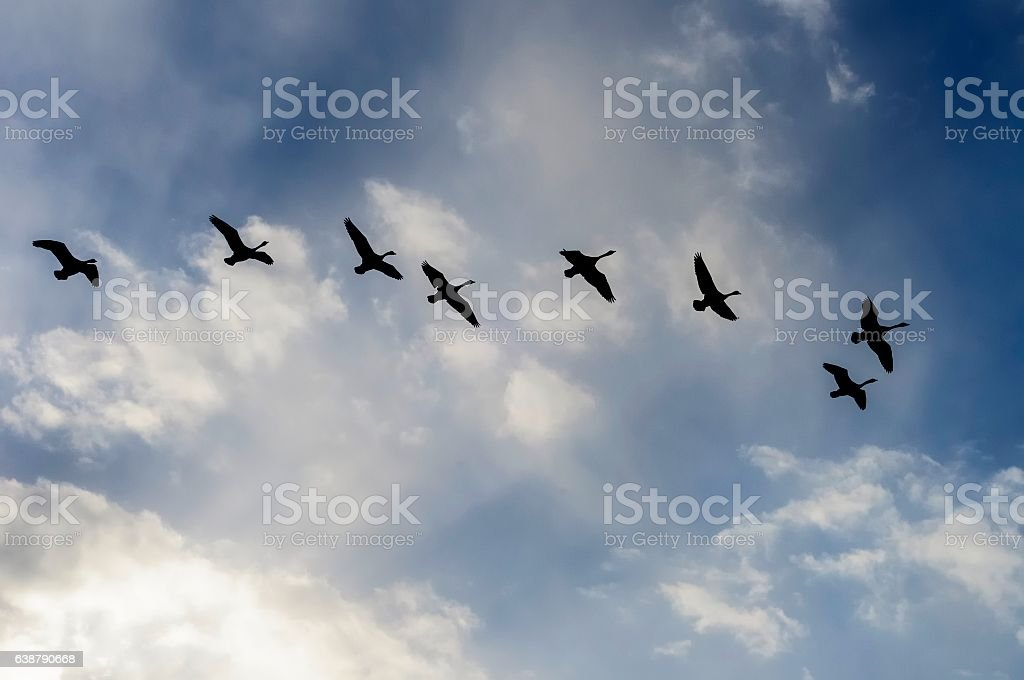 Flock of Canadian Geese Flying in Formation stock photo