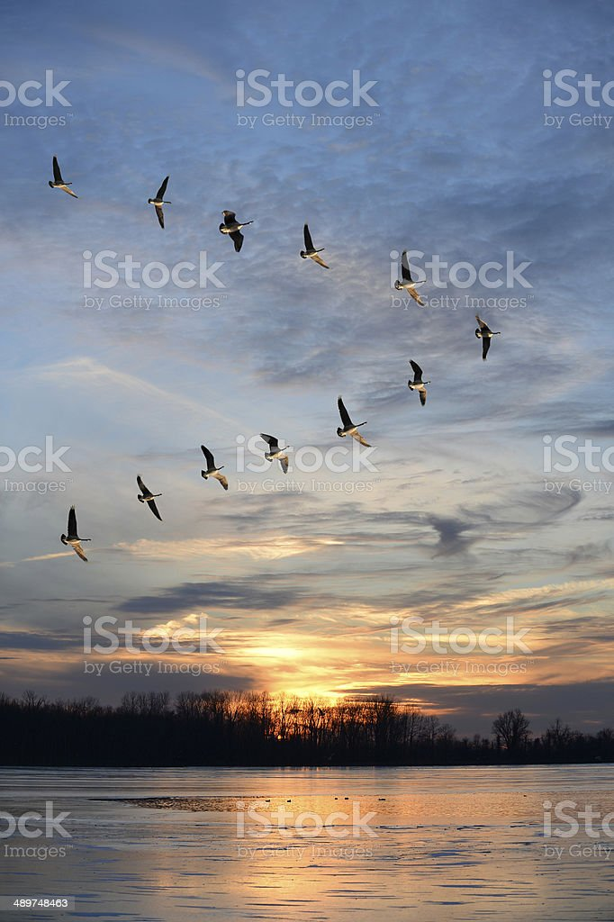 Flock of Canadian geese in V formation stock photo