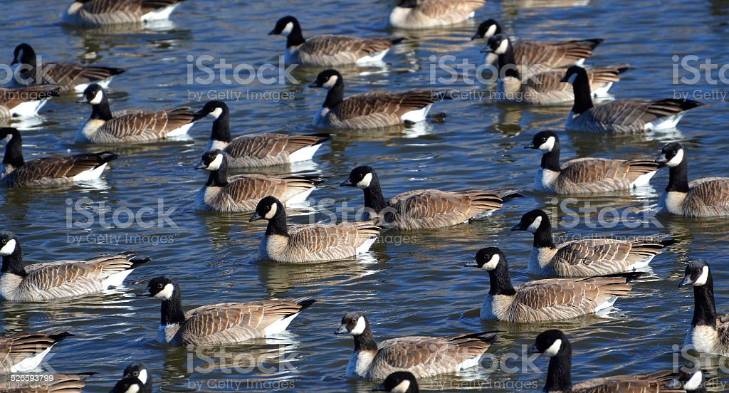 Flock of Canadian Geese swimming across blue water stock photo