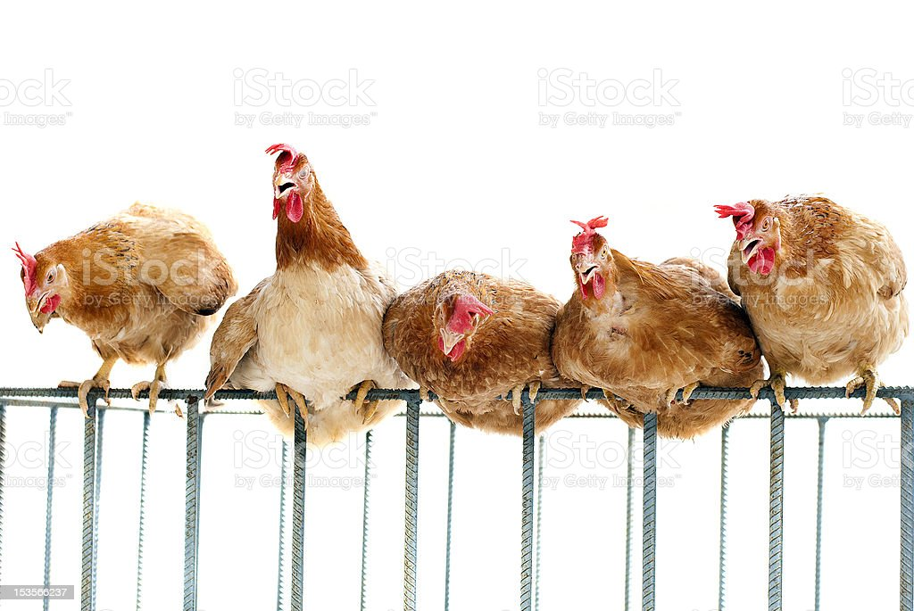 flock of chicken perching on cage in a row stock photo