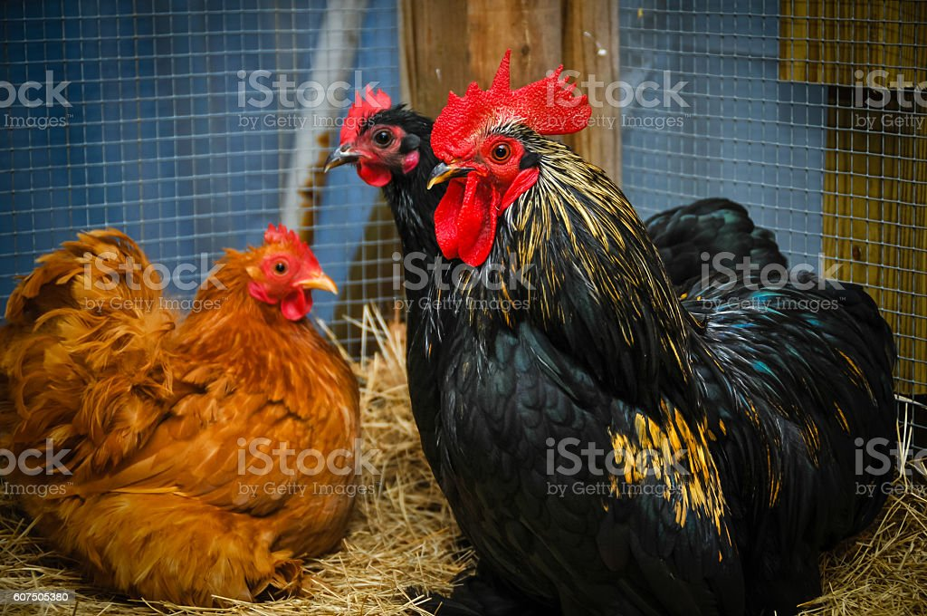 Flock of Chickens stock photo
