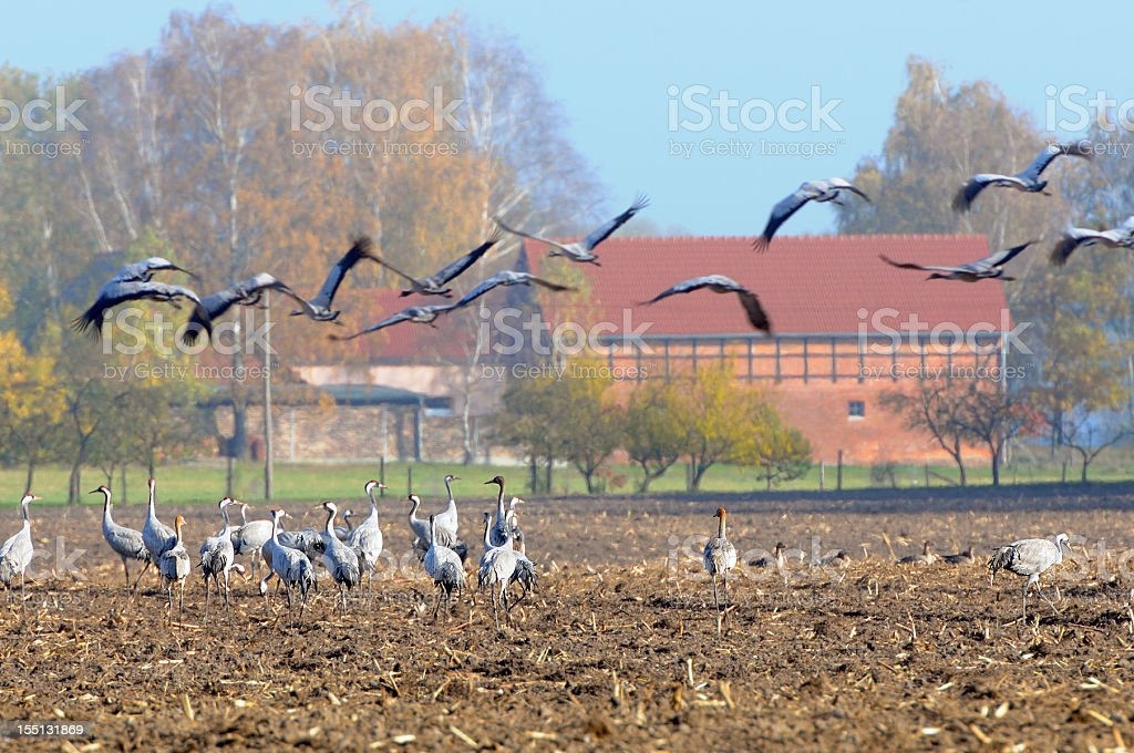 flock of Common Crane during autumn migration on field (Germany) royalty-free stock photo