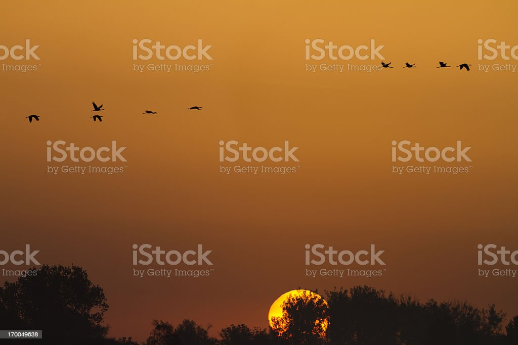 Flock of Common Cranes, Mueritz National Park, Germany royalty-free stock photo