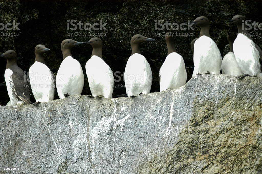 flock of common guillemot on rock stock photo