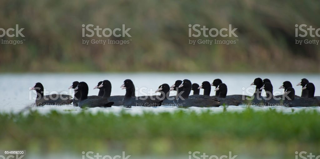 flock of coot stock photo