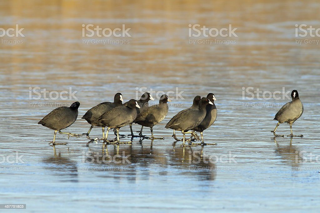 flock of coots walking on frozen lake royalty-free stock photo