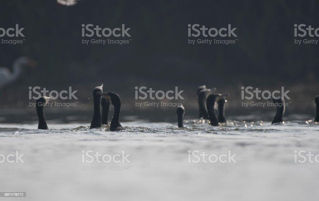 Flock of cormorant stock photo
