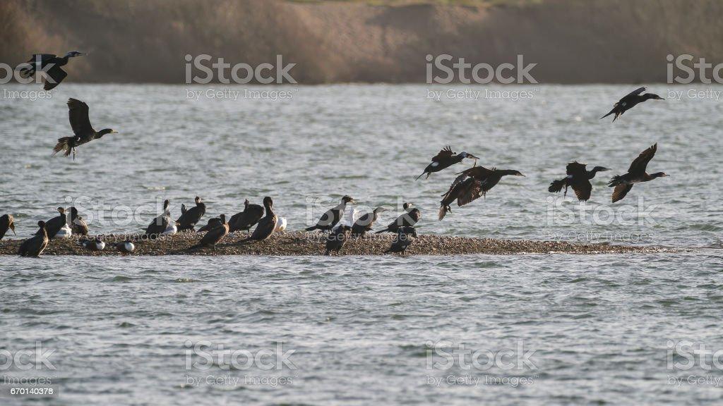 Flock of cormorant shag birds flying over lake in Winter stock photo