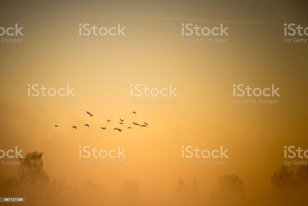 A flock of cormorants flies over the misty land stock photo