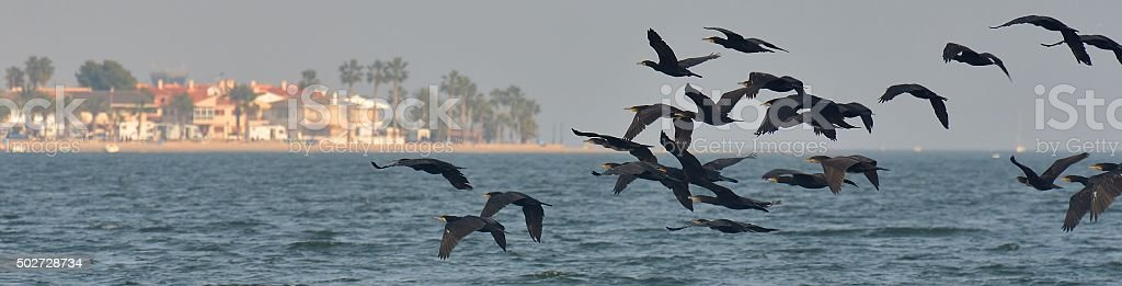 Flock of Cormorants stock photo