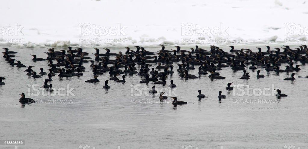 Flock of cormorants stock photo