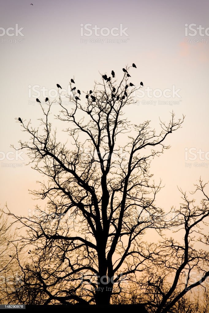 Flock Of Crows In A Treetop At Sunset stock photo