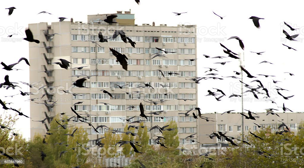 flock of crows in the urban landscape stock photo