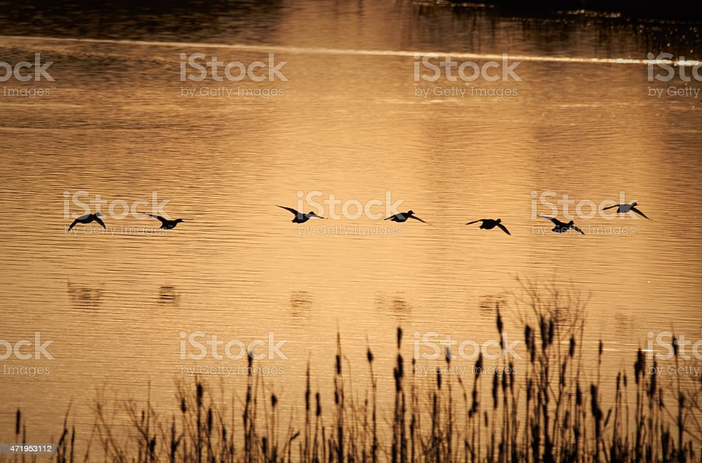 Flock of ducks in the morning stock photo
