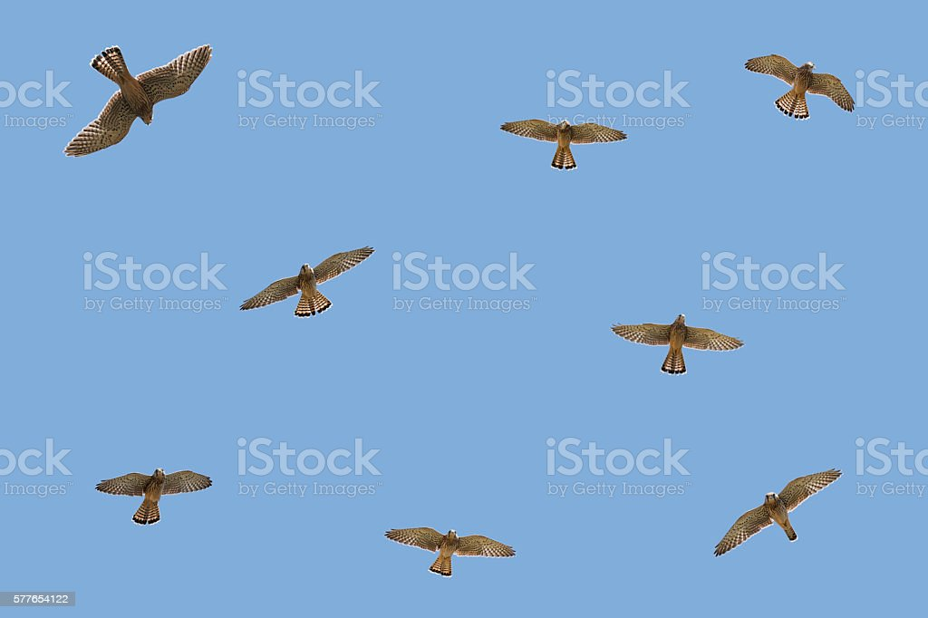 Flock of falcons in the sky stock photo
