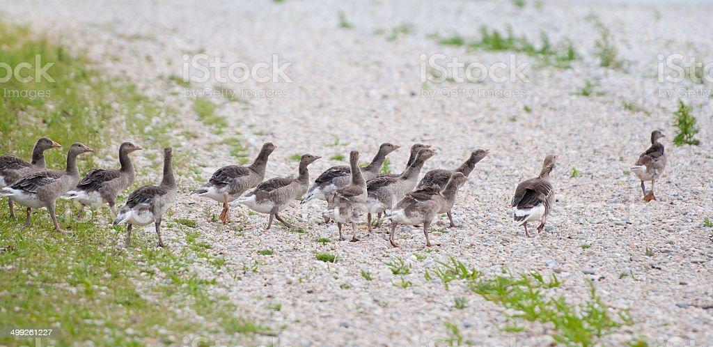 flock of female ducks running on the waterside stock photo