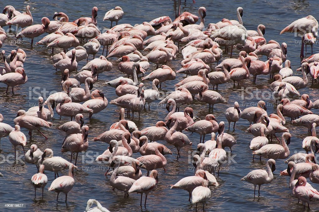Flock of Flamingo Standing in Water royalty-free stock photo