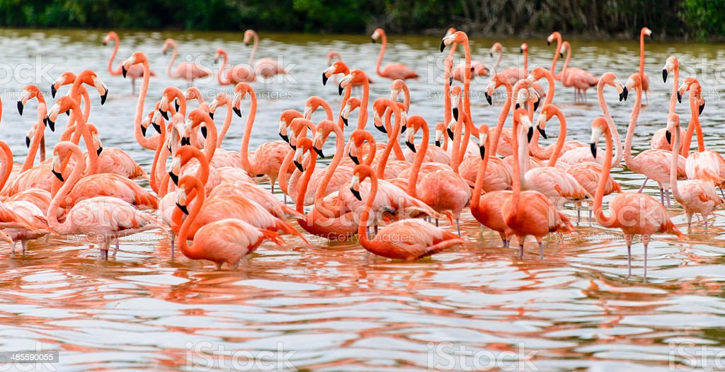 Flock of flamingoes -XXXL stock photo