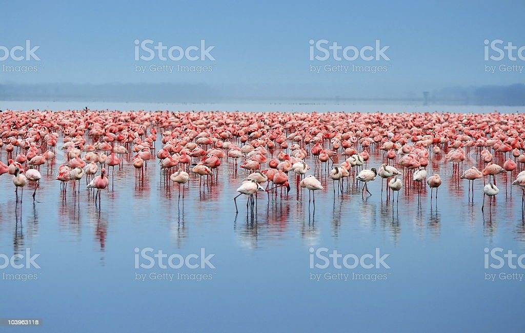 A flock of flamingos in the water stock photo