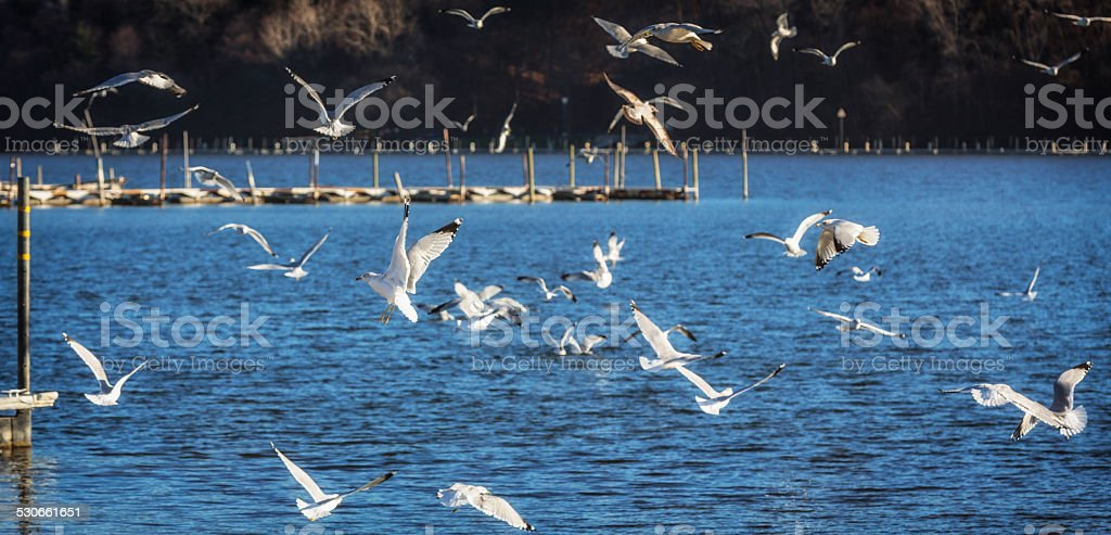 Flock Of Flying Seagulls Over Irondequoit Bay Water stock photo