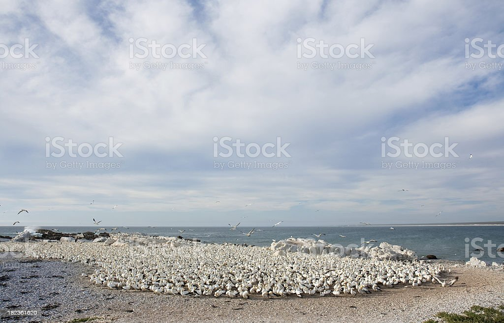 flock of gannet sea birds stock photo