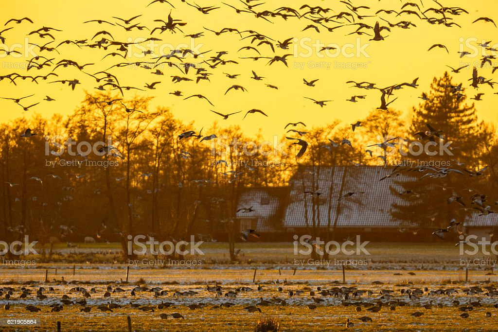 Flock of Geese at sunset looking for safe rust place stock photo