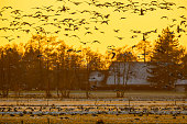 Flock of Geese at sunset looking for safe rust place