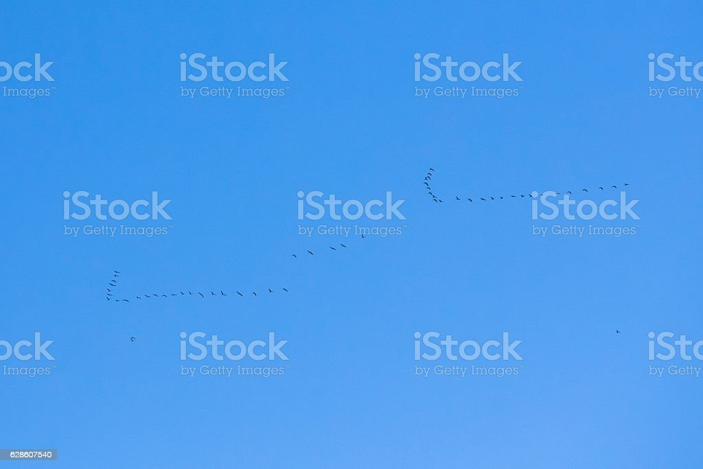 Two Flocks Of Geese Flies In V-formation Flying In Sunny Blue Autumn...