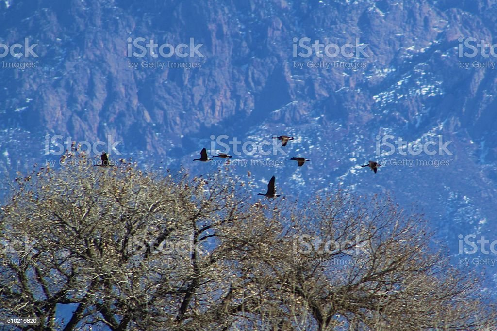 Flock of Geese Flying in Front of Sandia Mountains stock photo